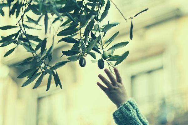 how kalamata olives are made hand picking fresh olives