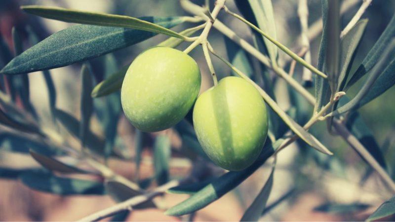 best olive oil brands origins of olives